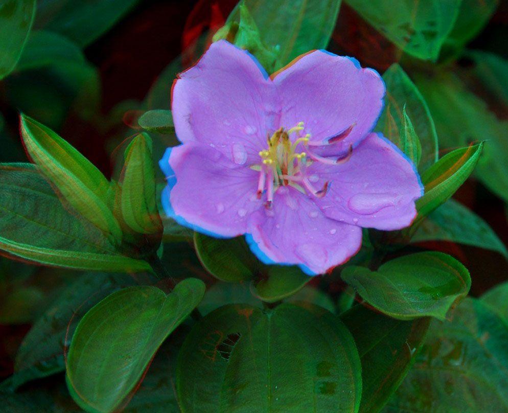 红蓝眼镜3d图片_3D图片合集:娇滴滴的紫色妖姬第3张图片 -万维家电网
