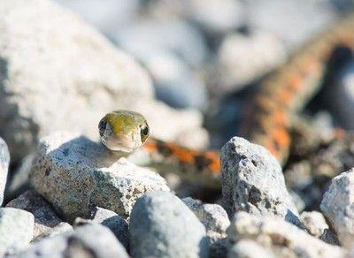 趣味探索:蛇在冰箱里能顺利冬眠吗?